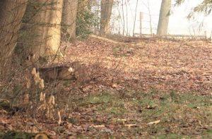 Groot wild gespot tijdens een ochtend wandeling in de Testrik.